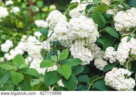 White Hydrangea Flowers On Bush In The Garden, Stock Photo