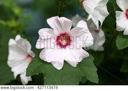 Lavatera Blushing Bride Barnsley Tree Mallow Flower In Summer Garden