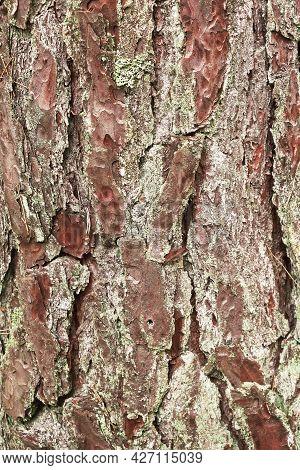 Fragment Of Pine Bark Closeup. Texture, Background, Flora