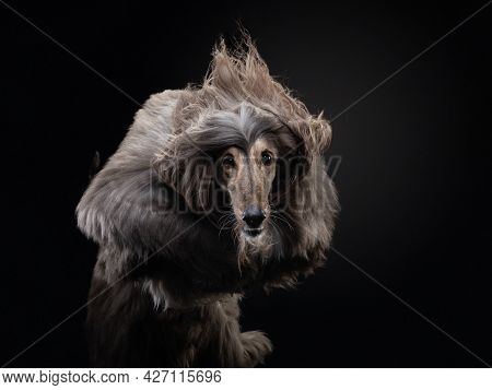 Flying Dog. An Afghan Hound On A Dark Background. Active Pet, Movement