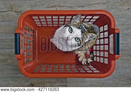 Cute Tabby Cat Sitting In A Red Laundry Basket And Looking Curious To The Camera, Seen Directly From
