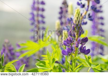 Half-opened Flower Of Purple Lupine Against The Background Of Other Lupins In Bokeh On A Sunny Summe