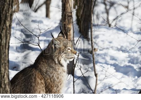 Lynx Sits In The Winter Forest On A Sunny Day Close-up. Side View. Nature Protection Or Hunting Conc