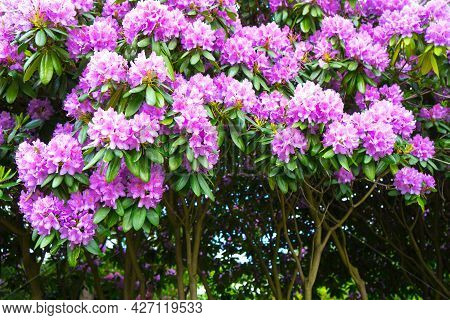 Shrub Of A Blossoming Pink And Lilac Oleander. Flowering Plants In Nature And In The City.