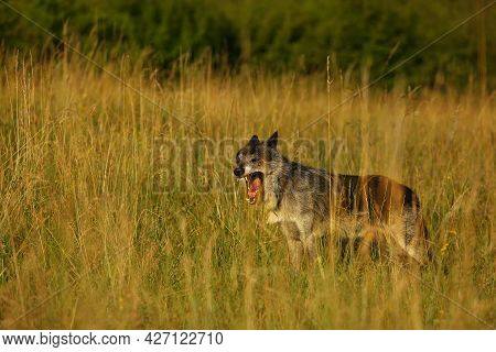 A North American Wolf (canis Lupus) Staying And Laughing In The Dry Grass In Front Of The Forest.