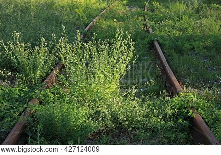 The Old Railway. Abandoned Rusty And Inactive Railway Track Overgrown With Grass. Rails In The Light
