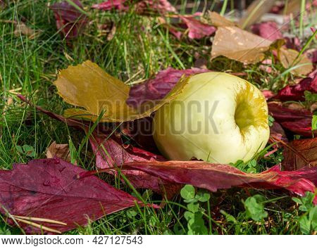 Ripe Apple And Red Fallen Leaves Are Lying On Green Grass. Harvesting In Orchard. Small Depth Of Fie