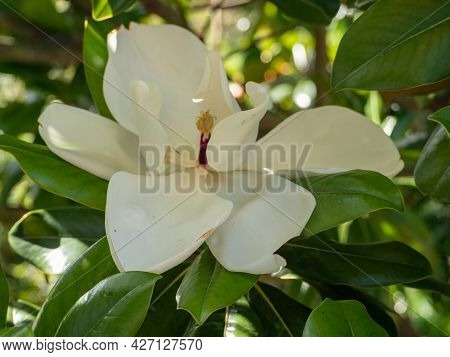 Magnolia Large-flowered On A Natural Background. Magnolia Bull Bay, An Evergreen Tree. High Quality