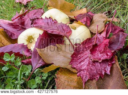 Ripe Apples And Wet Red Fallen Leaves Are Lying On Green Grass. Harvesting In Orchard. Small Depth O