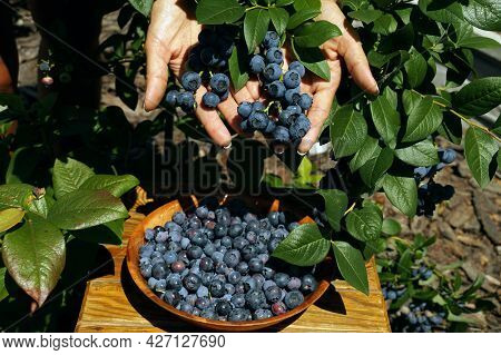 The Woman Is Showing The Ripe Fruits. Blueberry Fruit Harvest Time.