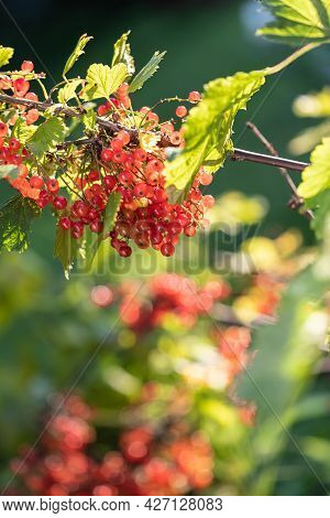 Ripe Red Currant Berries On A Bush In The Garden. Illuminated By Warm Sunlight
