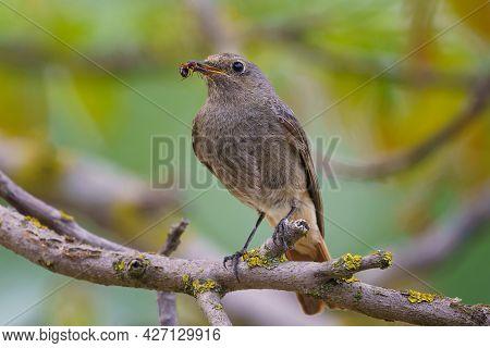 Black Redstart - Phoenicurus Ochruros Standing On The Branch With Prey.