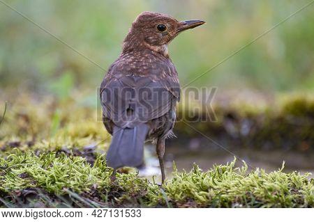 Bird Juvenile Blackbird, Turdus Merula, In The Wild.