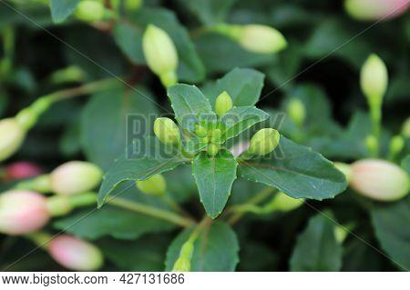 Tiny Green Flower Buds On A Fuchsia Plant