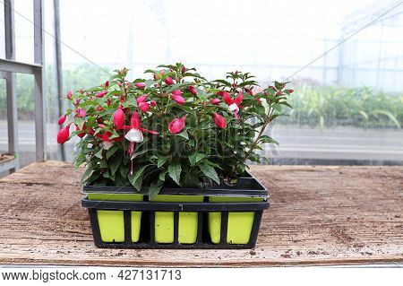 Fuchsia Seedling Plants With A Greenhouse Background