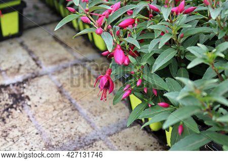 The Edge Of Fuchsia Plants In Planter Pots