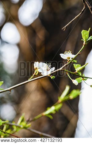 Spring Flowering Branch On A Brown Trunk Background, Copy Space