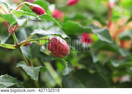 A Fuchsia Plant Full Of Ripening Seed Pods