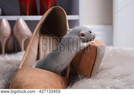 Cute Grey Rat In Female Shoe On Fuzzy Rug Indoors