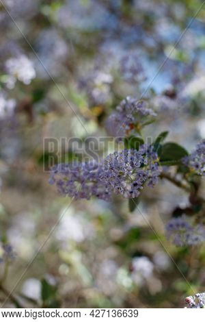 Purple Blooming Axillaterminal Indeterminate Raceme Inflorescences Of Hairy Buckbrush, Ceanothus Oli