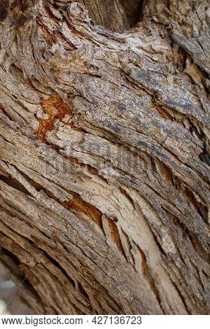 Aging Exfoliating Furrowed Ridge Bark Of Desert Ironwood, Olneya Tesota, Fabaceae, Native In Joshua