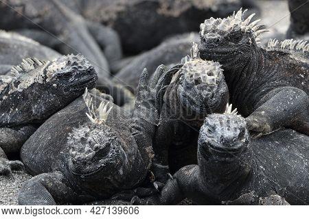 Galapagos Marine Iguana Sneezing excreting salt by nose - funny animals. Close up of Marine iguana on Galapagos Islands, Ecuador.