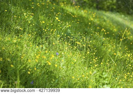 Wildflowers And Wild Native Herbs On A Green Meadow. Meadow In Bloom