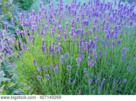 Lilac Flowers On Sprigs Of Lavender On A Blurred Background