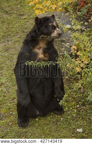 The Spectacled Bear (tremarctos Ornatus) In Zoo.