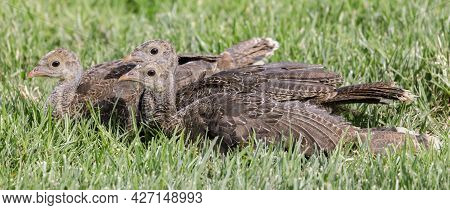 Wild Turkey Juveniles Resting With Caution. Quail Hollow Ranch County Park, Santa Cruz County, Calif