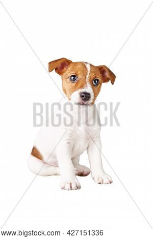 Cute Sad Puppy Dog Sitting On White Background. Pet Dog Isolated. Jack Russell Terrier