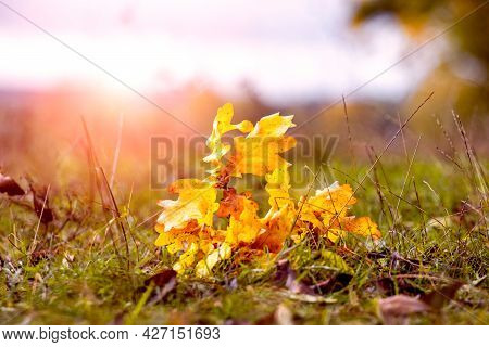 Oak Branch With Dry Yellow Leaves In The Forest On The Grass In Bright Sunlight. Fallen Leaves In Th