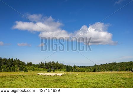 Summer Pasture With Flock Of Sheep Among Spruce Forests Under Blue Sky - Czech Republic, Europe