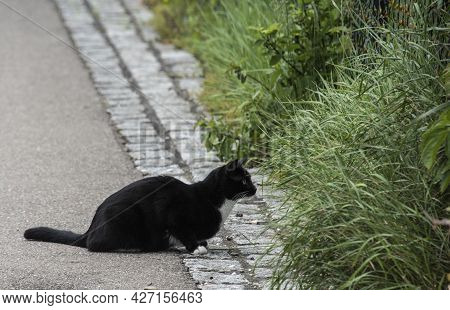 A Black Domestic Cat With White Socks And Whiskers Looking Attentively Into A Garden