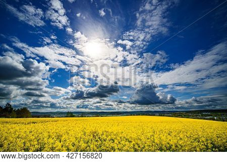 Yellow blooming rapeseed field. Canola is an agricultural plant for the production of oil and fuel. Summer landscape