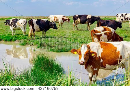 One Curious Cow Is Standing In The Pond And Posing, Looking At Camera, Others Are On The Shore Grazi