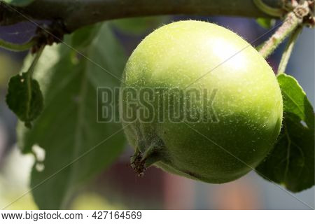 An Unripe Apple On A Tree Branch, Close-up. An Apple Is An Edible Fruit Produced By An Apple Tree (m