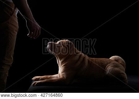 Male Hand Reaching For The Dog. Shar Pei On Black Background. Pet In The Studio