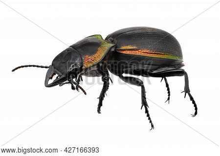 Ground Beetle Macrophotography, Insect Isolated On White Background