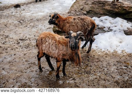 Flock In Sheepfold, Farm Livestock Pen Of Countryside In Winter Day, Brown Woolly Sheep And Goats Fa