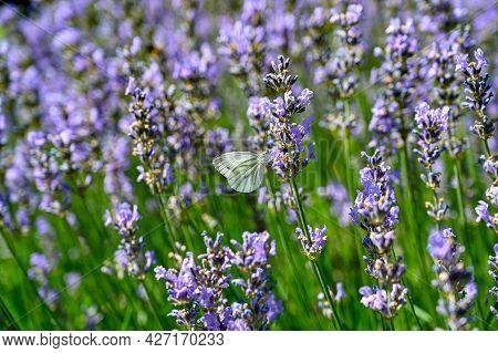 Butterfly In Lavendel Flowers In Botanical Garden