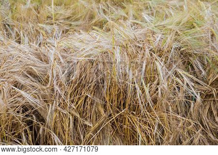 Ripening Barley With Stems Partly Fallen And Twisted By A Storm On A Field, Close-up