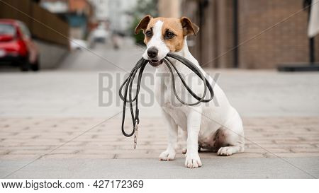 Lonely Abandoned Jack Russell Terrier Holds A Leash In His Mouth. Dog Lost In The Outdoors