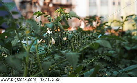 Green Tomatoes In The Vegetable Garden. Urban Vegetable Garden In A Public Place. Urban Environment.