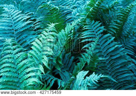Beautyful Ferns Leaves Green Foliage Natural Floral Fern Background Blue-green.
