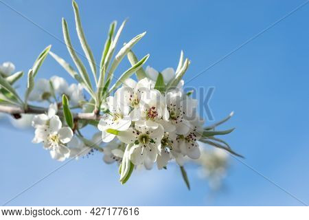 Spring Blossom Of The Weeping Silver Pear Tree, White Flowers Of Willow-leafed Pear, Pyrus Salicifol