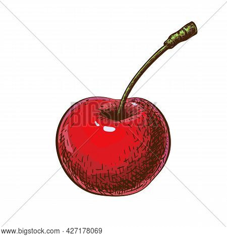 Red Cherry Sketch Isolated On White Background. Hand Drawn Illustration Of Cherry In Vintage Engrave