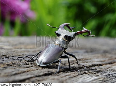Male Stag Beetle With Long And Sharp Jaws In Wild Forest Sitting On The Trunk Of An Oak Tree