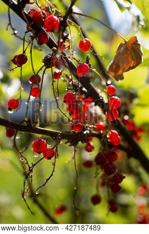 Red Currant Berries Hang From The Branches In The Garden. Clear Sunny Weather. Water Droplets Hang F