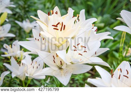 White Lily Flowers (lat. Lílium) On A Background Of Green Leaves On A Clear Sunny Summer Day. Nature